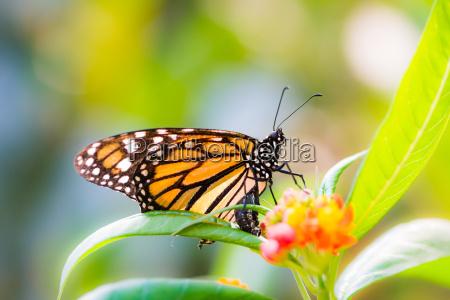 macro of a monarch butterfly on