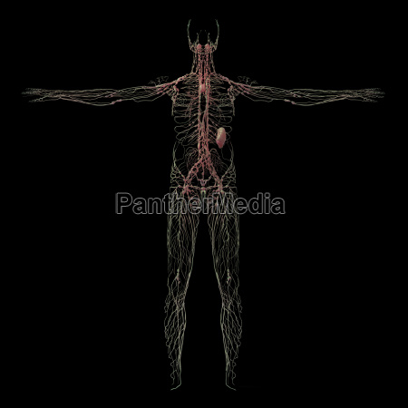 3d rendering of human lymphatic system