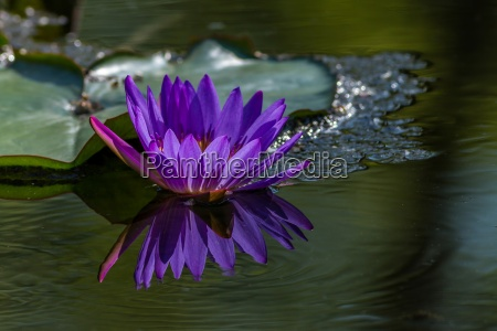 pink water lily in the lake