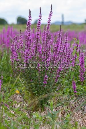 purple wild marsh flowers growing in
