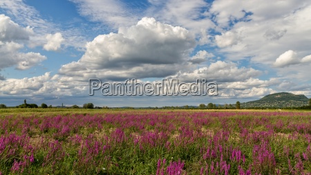 purple wild marsh flowers growing in