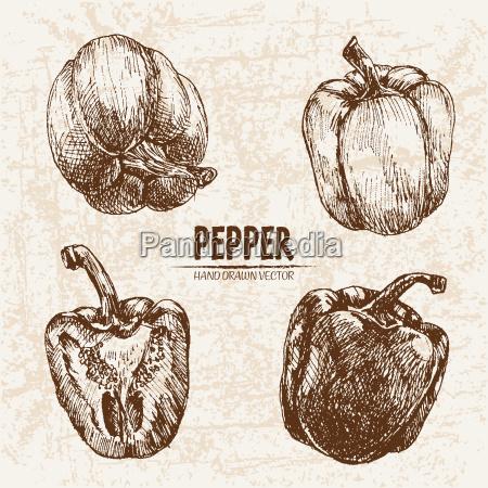 digital vector detailed line art pepper
