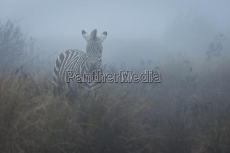 zebra equus quagga in the mist