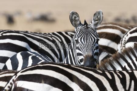 a grants zebra equus quagga boehmi